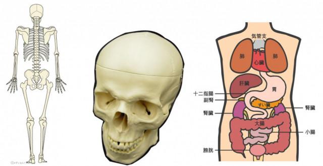 骨格のゆがみ 頭蓋骨のゆがみ 内臓のゆがみ